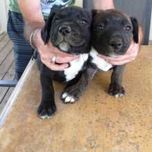 2 males,  brindles.  Ready to go 10/10.  Vacc & wormed.   $250 each Phone 0417259538