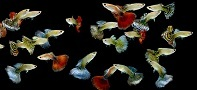 Variety including Fantail, Great Colours,  Males $2.50 ea  Females $2