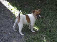 Tan & white nat. bobtail Tenterfield Terrier pup. 9 weeks vac, microchipped etc. Registered CCCQ Make wonderful pet. Lovely nature. Ready to go.