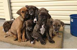 PUREBRED Bull Mastiff X Dane/Pointer