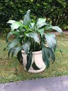 mature plant in pot with stand