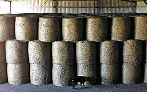 IN SHED 4x4 Round Peanut Hay Bales $77 inc. GST Ph: 0408795500 Syruphoff Produce