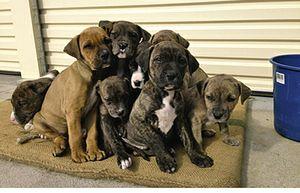 PUREBRED Bull Mastiff X Dane/Pointer  10 wks old  3M, 5F  vet checked, vacc, wormed  $200 neg  Toowoomba  mick_kt@hotmail.com