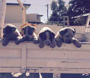 4 Male, vacc, m/chip, wormed, ready 1st Sept, $250ea, Great pets, Phone 0409599403