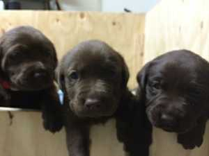 2 Black male, 2 Chocolate Female,   vacc, wormed, vet check. View Parents. Ready 30th Aug. $600ea.