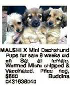 MALSHI X Mini Dachshund Pups for sale 9 weeks old on Sat all female. Wormed Micro chipped & Vaccinated. Price neg, $650 Buddina 0431638040