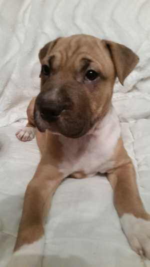 PUPPIES AM Staff x Sharpei 3M, 3F 11wks, Vacc, Wrmd, Mchip, Alert, Gentle, Great family pet $400 North Ipswich. Ph 0433 419 940