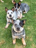 Australian Cattle Dogs Pedigree. Vaccinated, micro chipped with papers. 1M 3F, 12 weeks old, genuine offers considered