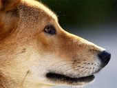 A PACK of wild dogs and dingoes is savaging sheep on the Darling Downs.