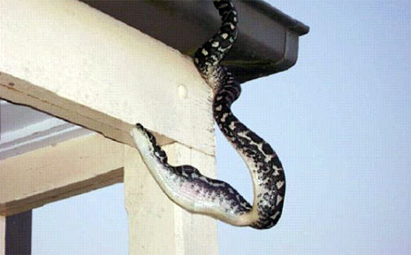 Once devoured, it may take between five to eight days for the snake to digest the bird.