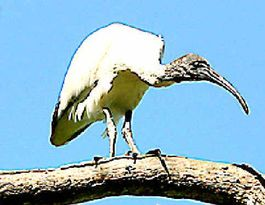 Hunting arrow kills ibis in latest act of animal cruelty