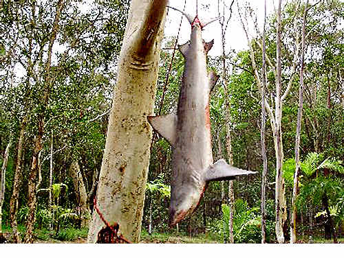 This 2.8-metre bull shark was caught 15km inland from the mouth of the Noosa River.