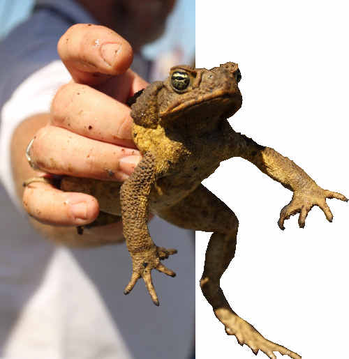 Target number one tonight: the cane toad.