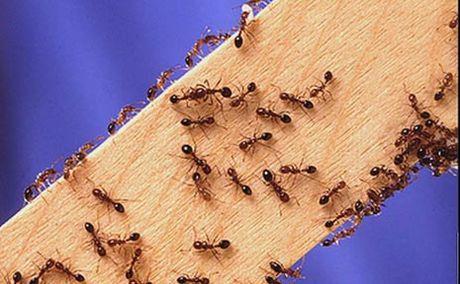 gs-fire-ants07_t460.jpg