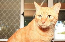 Sammy is a seven-year-old domestic short hair cat. He came to the Noosa shelter as a stray. He's an easy going boy looking for a loving home, somewhere to laze around.