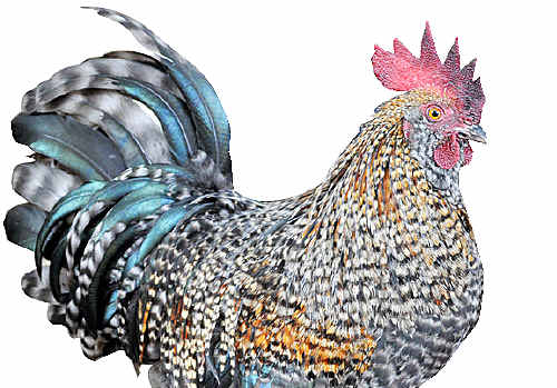ABOUT 20 chickens and ducks were found decapitated in Morayfield.