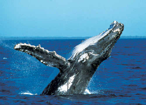 HUMPBACK whales are powering north on their winter migration making headlands and viewing vessels on the Coffs Coast the best place to catch a glimpse.