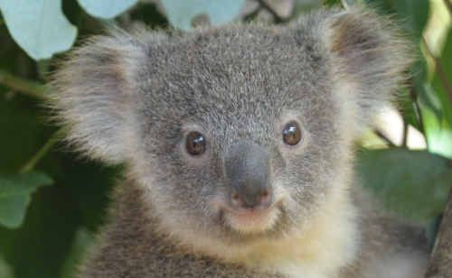 Conservationist Bob Irwin has thrown his weight behind Koala Diaries, an online tracking resource for the public who spot koalas.