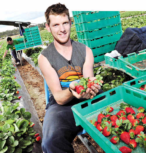Backpacker Martin Hickey at work at the Gowinta strawberry farm at Beerwah.
