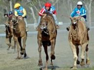 Tara Festival of Culture and Camel Races is a three day event in which visitors can experience a unique blend of multi-cultural entertainment and an...