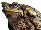 A SCIENTIFIC trial using cane toad venom against their own spawn could see the pests eradicated from Fraser Island, experts hope.