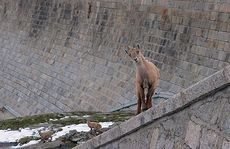 European Ibex make their home in the walls of the Diga del Cingino dam in Italy.