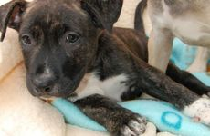 Waiting for a home: Staffy cross puppies at the Noosa RSPCA.