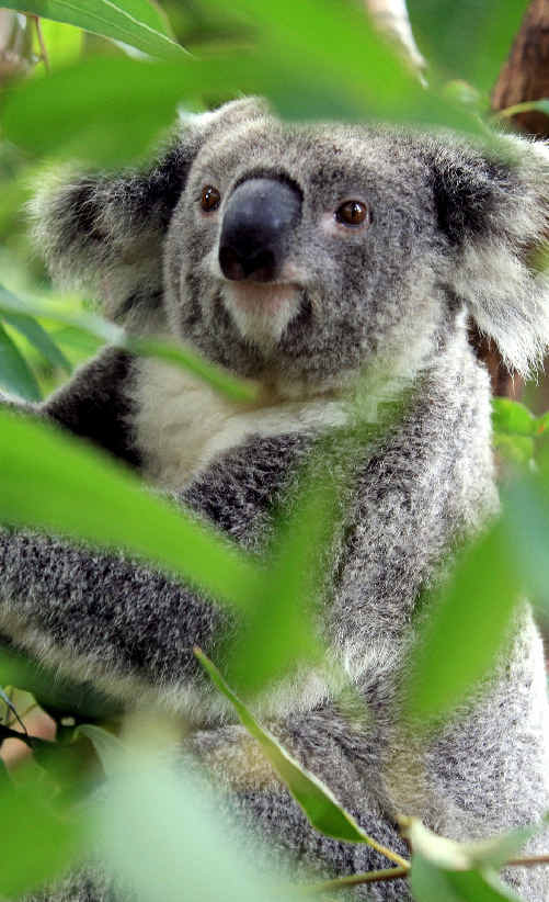 A rally to save koalas at Kings Forest is planned for Saturday.
