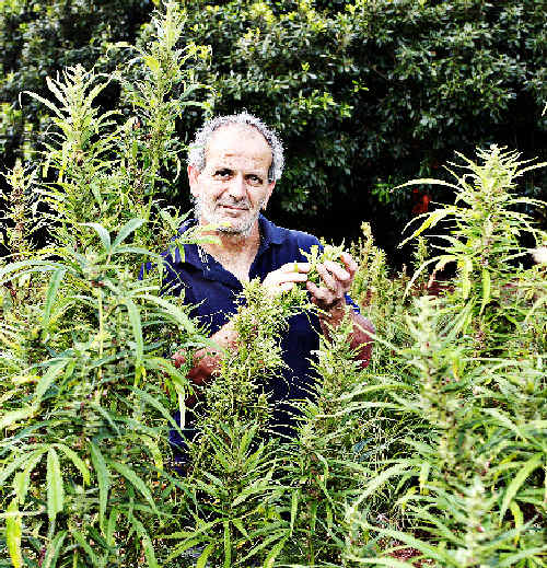 Industrial hemp grower Andrew Kavasilas inspects a crop on one of his two hemp farms on the.