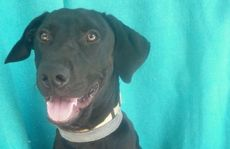 Meet Tyson. This gorgeous nine-month-old puppy is looking for a home.