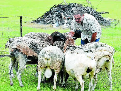 NOT JUST SHEEP: Craig Johnson mourns the loss of six of his best miniature dorpers – Minnie, Pants, Booffo, Dinner, Chocolate and Muffin.