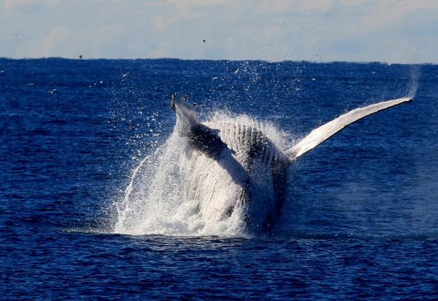 Whale watching in Hervey Bay is among the top ten tourism adventures for the 1.3 million customers that travel on Greyhound buses.