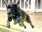 WHAT A DIVE: Sheeba the half ridgeback half bullmastiff loves the swimming pool where she helped her mother get back her movement.