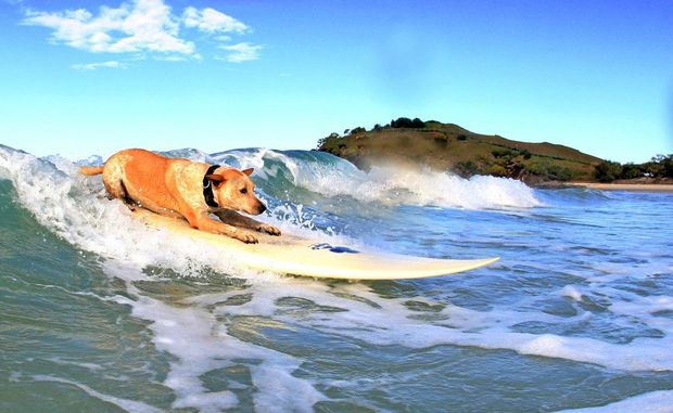 Surfing dog Cedar on a wave at her home beach.