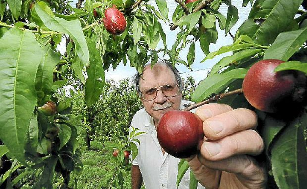 Alstonville stone fruit grower William Pretorius expects that the financial return on locally grown stone fruit will be down, owing to the cold, wet weather resulting in smaller fruit with less sugar and colour.