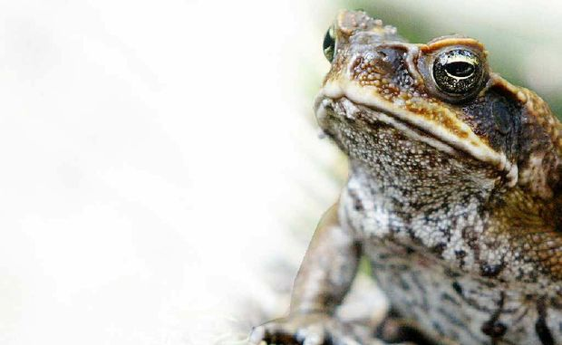 The website ToadScan allows people to map sightings of cane toads, so they can be tracked and controlled.