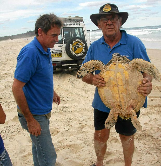 Australian Seabird Rescue's Keith Williams and Ron Potter with Cindy the hawksbill turtle at Dreamtime Beach, Fingal Head.