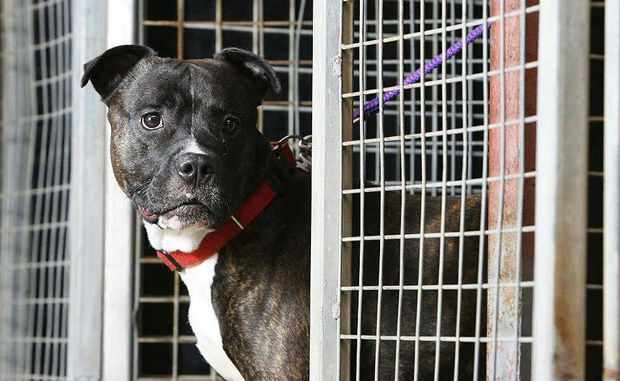 Max the American Staffordshire Bull Terrier peeks out of the new Animal Welfare League Queensland Re-homing Centre kennels at the Ipswich Pound on Hooper St, West Ipswich.