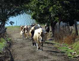 Cattle duffers steal 21 head of cattle near Coraki