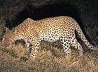 Trailing leopards on a night safari
