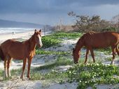 HUMANS aren't the only ones enjoying a holiday at Inskip Point – brumbies have also taken to the beach life.