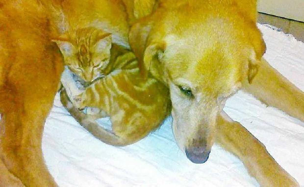 Alvin the 14-week-old kitten snuggles up to 14-year-old Charlotte the dog at the Ballina veterinary hospital.