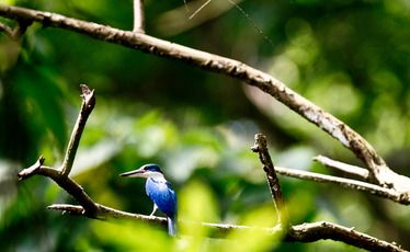 The habitat of the collared kingfisher is under threat as vast swathes of rainforest are destroyed.