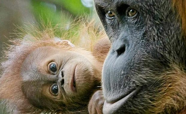 Rainforest Rescue chief executive officer Kelvin Davies said the orangutan population on Sumatra had dwindled to only 6624.