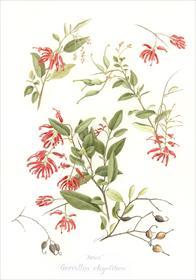 Grevillea rhyolitica 'Deua' by Marjorie Roche