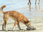 Scavenging dingoes on the eastern beach of Fraser Island.