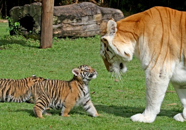 "Dreamworld's six-week-old tiger cubs meet their new ""aunt"" Sita, a 12-year-old female tiger."