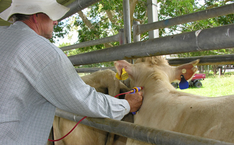 PROTECTING CATTLE: Peter Rolls vaccinating cattle against tick fever.