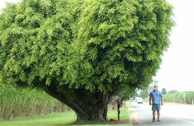 HEADS UP: Walkerston and Pleystowe RSL sub-branch secretary Doug Clark is dwarfed by one of the Pleystowe memorial fig trees, planted to honour Diggers.