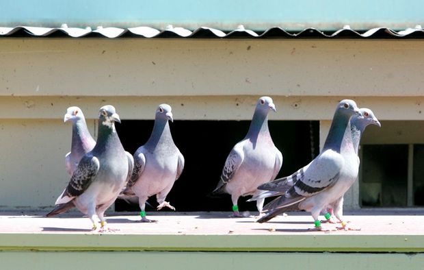 A Pottsville man reckons we should eat pesky pigeons.